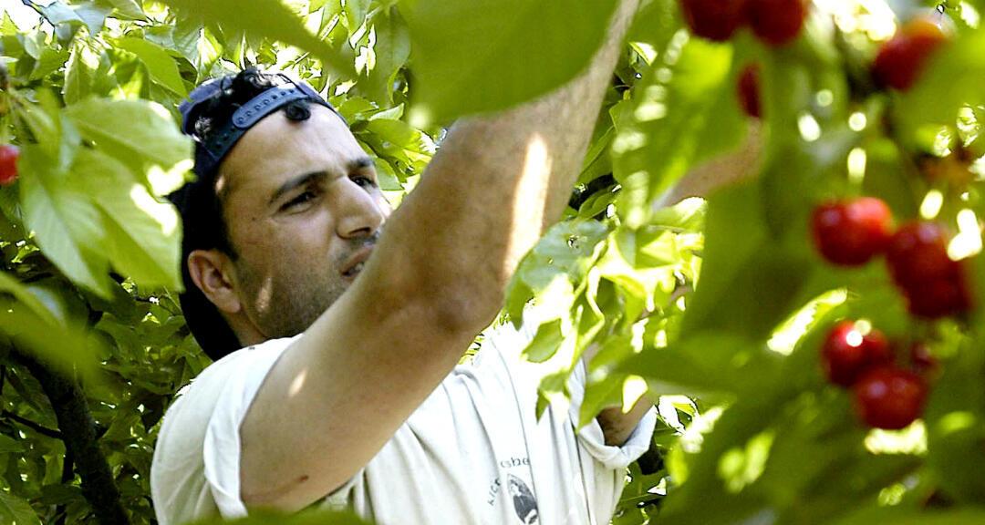 En la fotografía, un temporero marroquí recoge cerezas en una explotación agrícola de Seros, Lleida, Cataluña.