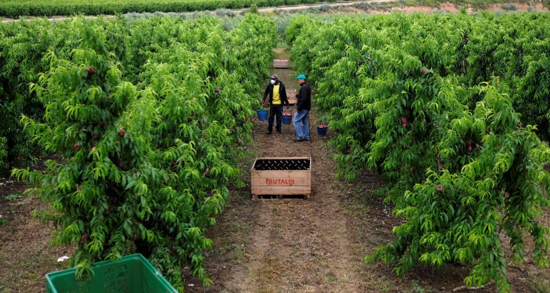 Los trabajadores recogen melocotón en el campo en Lleida, Cataluña, España, el 17 de junio de 2020.