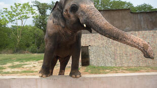 Pakistani elephant Kaavan is seen at the zoo in Islamabad in 2016, as activists have long called for his conditions to be improved