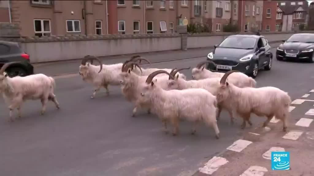 2021-03-19 12:08 Pays-de-Galles : prolifération de chèvres à  Llandudno