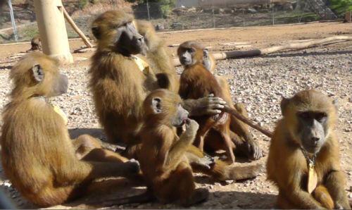 Les babouins du laboratoire de Psychologie Cognitive de Joël Fagot (AMU, CNRS)