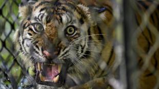 Una hembra de tigre de Sumatra dentro de una jaula antes de ser liberada a la naturaleza en el bosque de ecosistema de Leuser en la provincia de Aceh, Indonesia, el 19 de junio de 2020