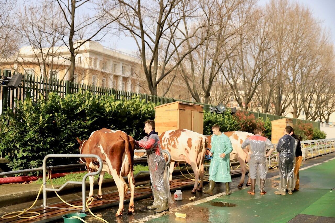Après six heures de voyage en bétaillère, les vaches se font toiletter...