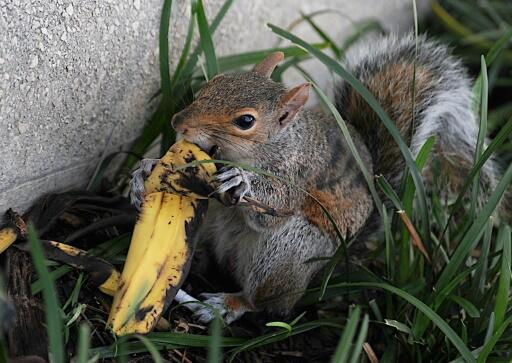 US park rangers debunk myth on tossing banana peels, apple cores