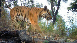 Photos taken with a camera trap of tigers prowling through jungles in western Thailand are being lauded by conservationists