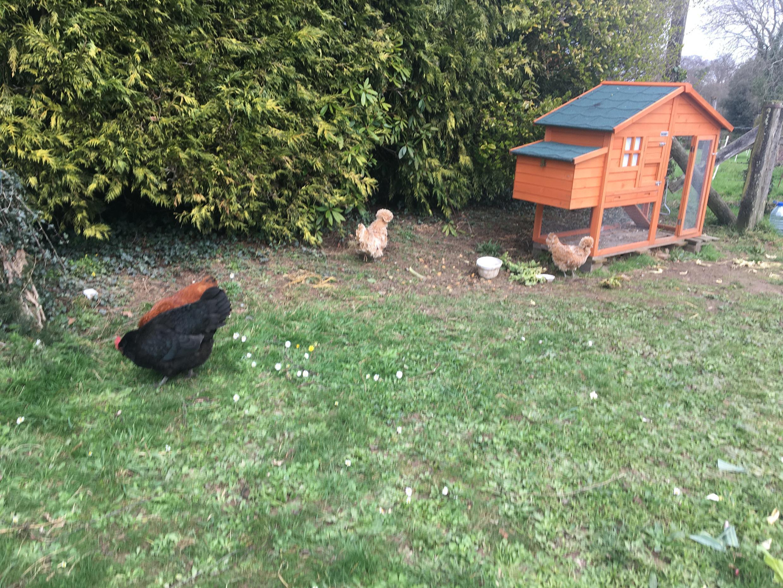 Dans le petit village de Langouët, des poules picorent au carrefour sous les premiers rayons du soleil de la journée.