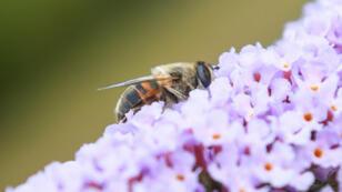 Una de las mayores preocupaciones para los ambientalistas y expertos es la reducción del número de abejas en el mundo.
