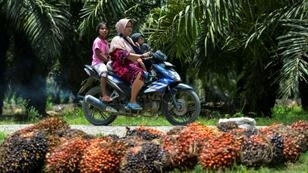 Palm oil is used in cooking, cosmetics, and biofuel, and accounts for six percent of Indonesia's economy