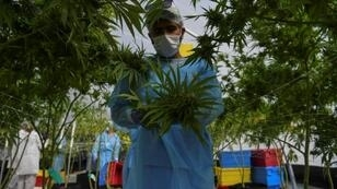 The first harvest of Uruguayan medical marijuana due for export is ready to be packed and sent
