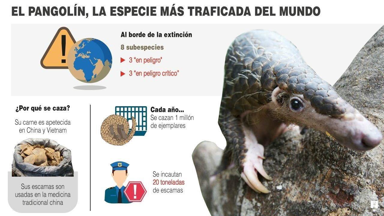 Datos sobre el pangolín, el mamífero más traficado del planeta
