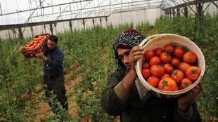 عمال يقطفون الخضار في مزرعة في رفح