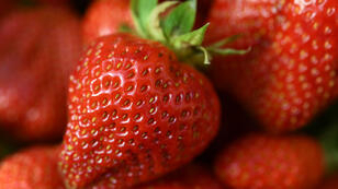 Des fraises à Plougastel-Daoulas, ville de l'ouest de la France, réputée pour ses fraises depuis le 18e siècle.