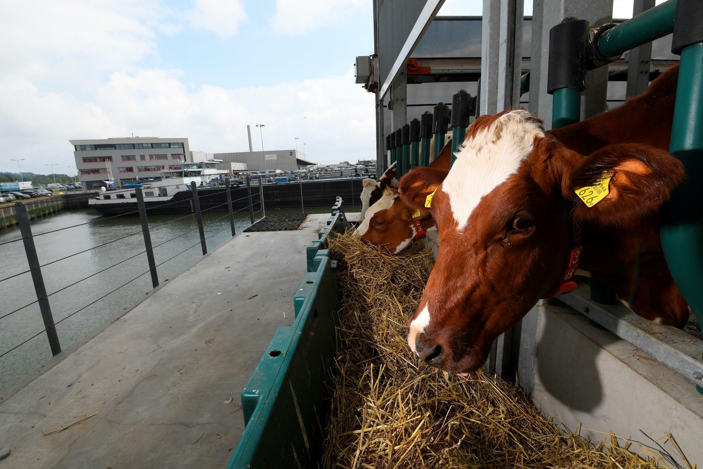 De koeien staan in schril contrast met de grotere schepen en de rook afkomstig van de raffinaderijen van de grootste haven van Europa