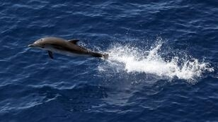 Tales of dolphins' exploits have abounded since Roman times (file picture)