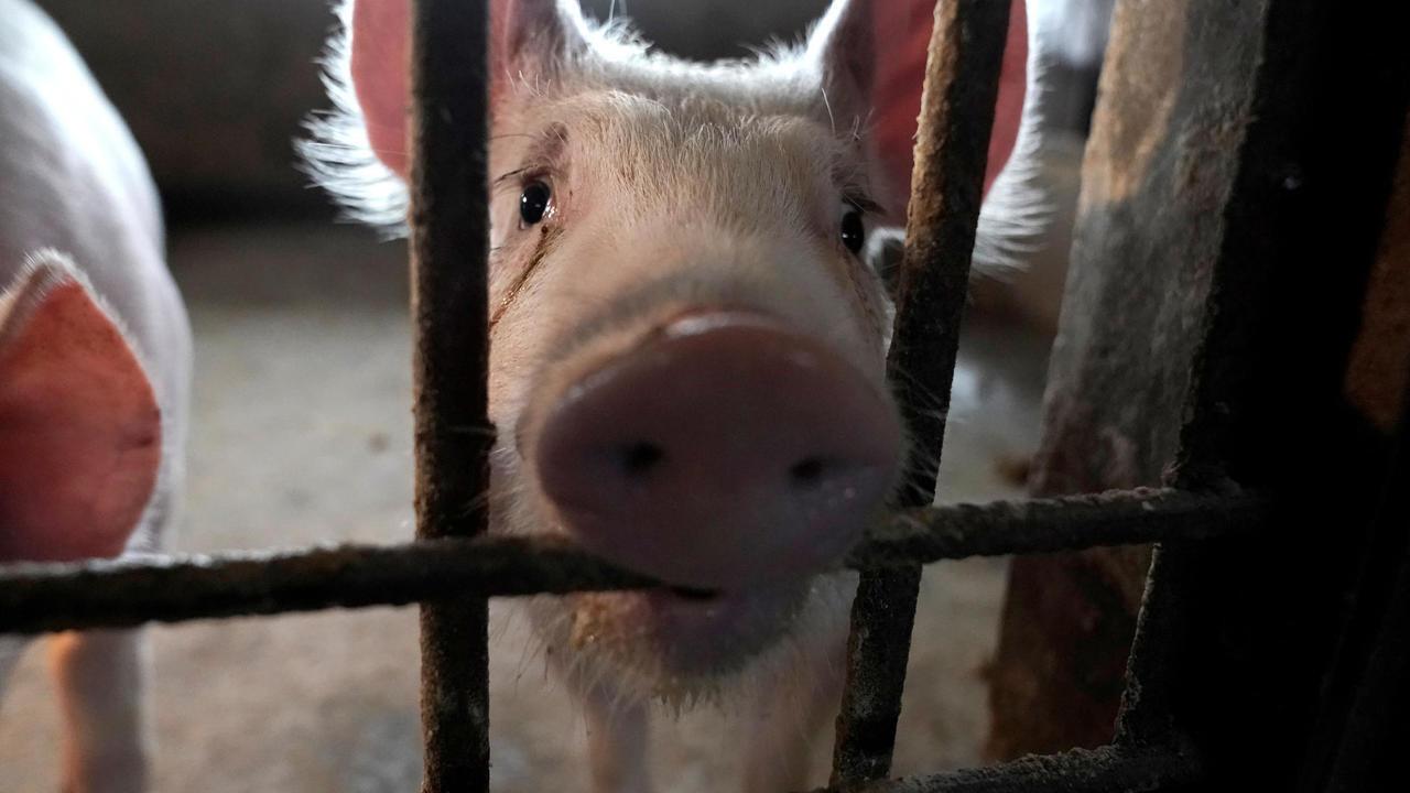 ظهرت السلالة الجديدة من فيروس (H1N1) في مزارع الخنازير جنوبي الصين في عام 2013.