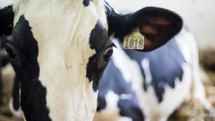 Une vache laitière de la ferme de Saint-Valérien-de-Milton, au sud-est de Montréal (Québec), au Canada.