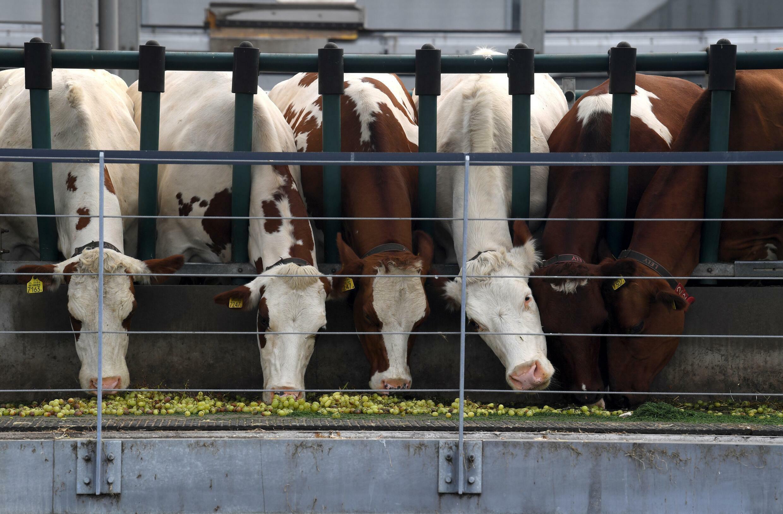 De koeien krijgen een mix van voer, waaronder druiven van de voedselbank, granen van de plaatselijke kroeg en gras van de plaatselijke golfbanen en voetbalclub Feyenoord in Rotterdam.