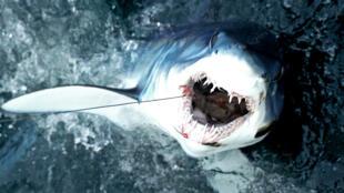 Un requin-taupe bleu émerge de l'eau après avoir été attrapé lors du 31e tournoi de requins-monstres de l'Atlantique Nord, le 14 juillet 2017, à New Bedford, Massachusetts.