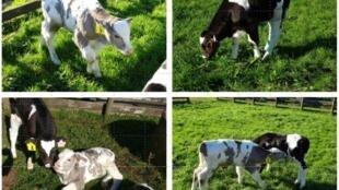 ابتكار تقنية لتعديل جينات الأبقار لحمايتها من التغير المناخي ورفع إنتاجيتها