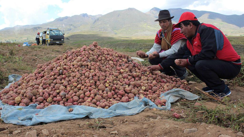 Fotografía del 24 de marzo del 2019, de pobladores de la comunidad de Chairumani (Bolivia), que muestran una variedad de papa.