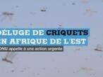 Criquets en Afrique de l'Est : l'ONU tire la sonnette d'alarme