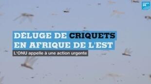 criquet-afrique-vignette
