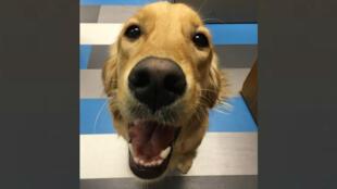 """Un des """"chiens de confort"""" de l'association """"LCC K-9 Comfort Dogs""""."""
