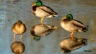 Des canards sauvages dans le Pas-de-Calais. Des foyers d'influenza aviaire H5N8 ont été découverts dans la faune sauvage ce département fin novembre.