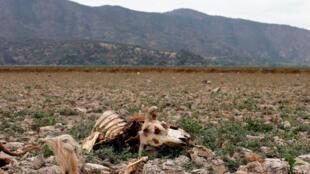 Los restos de una vaca se ven en la tierra que solía estar llena de agua, en la laguna de Aculeo en Paine, Chile, el 9 de enero de 2019.