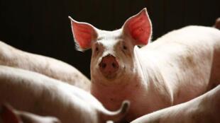 Plus d'un million de cochons chinois ont été abattus depuis août 2018.