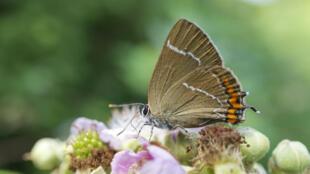 """Un thècle de l'orme, joli papillon portant un """"W"""" blanc dessiné sur ses ailes."""