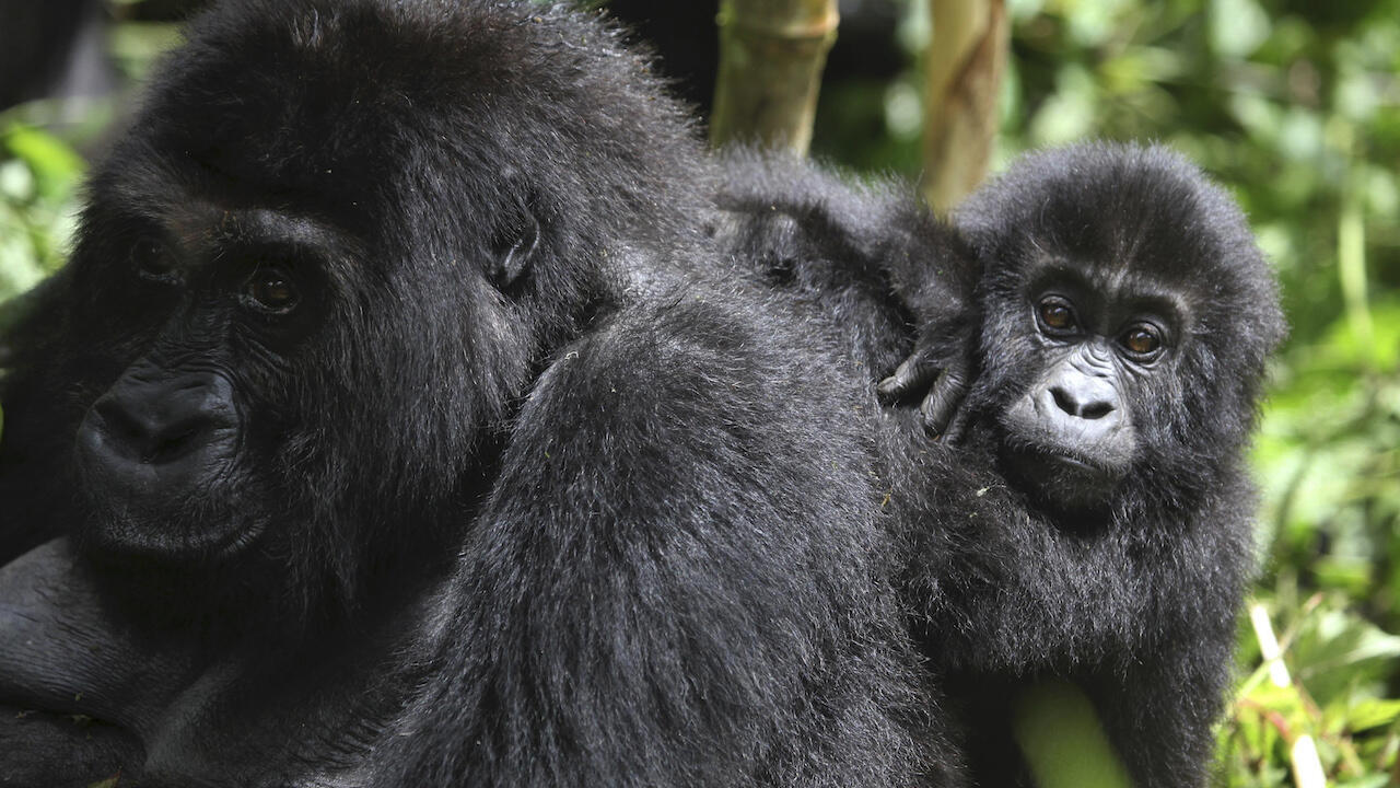 Eastern lowland gorillas in the Democratic Republic of Congo are among the land species worst hit by the global decline in wildlife, says WWF.