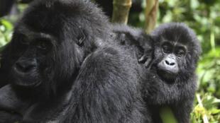 DR Congo eastern lowland gorilla gorille