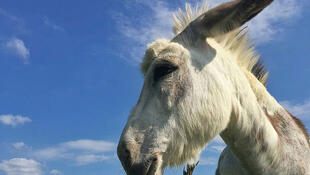 Buckwheat the donkey is a Zoom superstar, making office workers giggle with her appearances to benefit the Farmhouse Garden Animal Home, the Canadian animal sanctuary where she lives outside Toronto