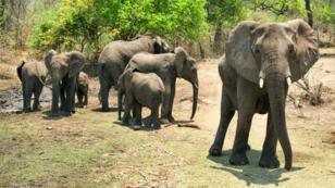 Un groupe d'éléphants dans la réserve de Majete.