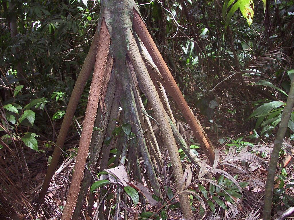 """شجرة """"سوقراطيا إيكزورهيزا"""" أو الشجرة الماشية"""