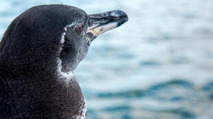 The Galapagos penguin is one of the smallest species of penguins in the world