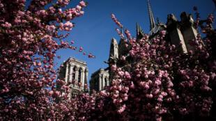 Des fleurs bourgeonnent devant la cathédrale Notre-Dame-de-Paris au printemps 2018.