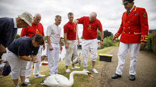 """Desde 1186, el monarca británico es el dueño legal de todos los cisnes vulgares y no marcados que viven en el país. Cada año, el marcador de cisnes y sus asesores, los """"swan uppers"""", remontan el Támesis a remo para pasar revista al patrimonio real"""