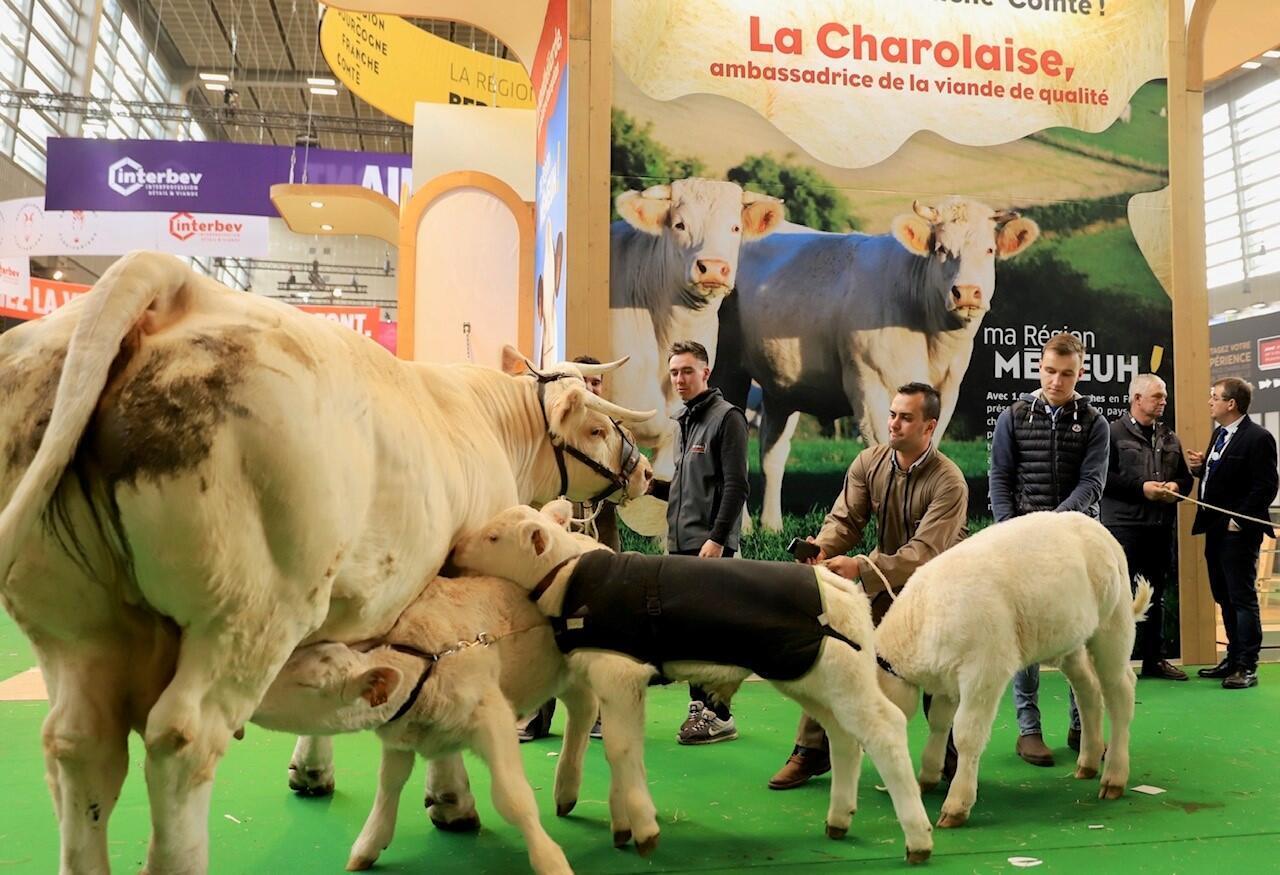 Les vaches sont les grandes stars du Salon de l'agriculture à Paris.
