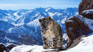 """""""Planet Earth II"""" a filmé ce léopard des neiges, un spécimen rare parmi les quelque 3500 derniers de son espèce."""