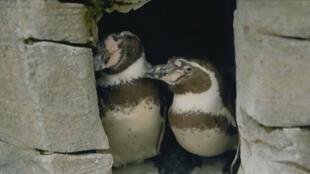 Dotty et Zee, les deux manchots mâles qui, ensemble, ont pris soin d'un œuf abandonné.