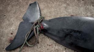 La chasse commerciale des baleines a officiellement repris, le 1er juillet 2019, après plus de trois décennies, au Japon.