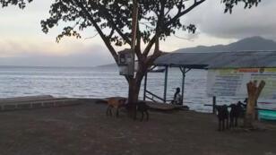 Las cabras se paran debajo de un árbol, con el mar de las islas Molucas al fondo, después de un terremoto en Ternate, en ndonesia , el 14 de julio de 2019.
