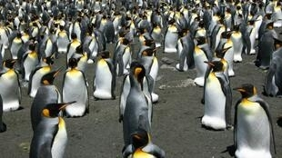 Recent satellite images and photos taken from helicopters show the king penguin population on Ile aux Cochon has collapsed, with barely 200,000 remaining