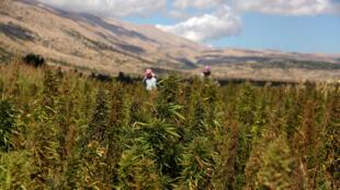 La culture du haschish est illégale au Liban (ici dans la Bekaa), la loi punissant de prison le trafic de drogue.