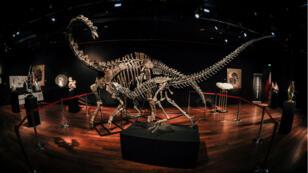 Les squelettes des deux dinosaures avant leur vente aux enchères à Drouot.