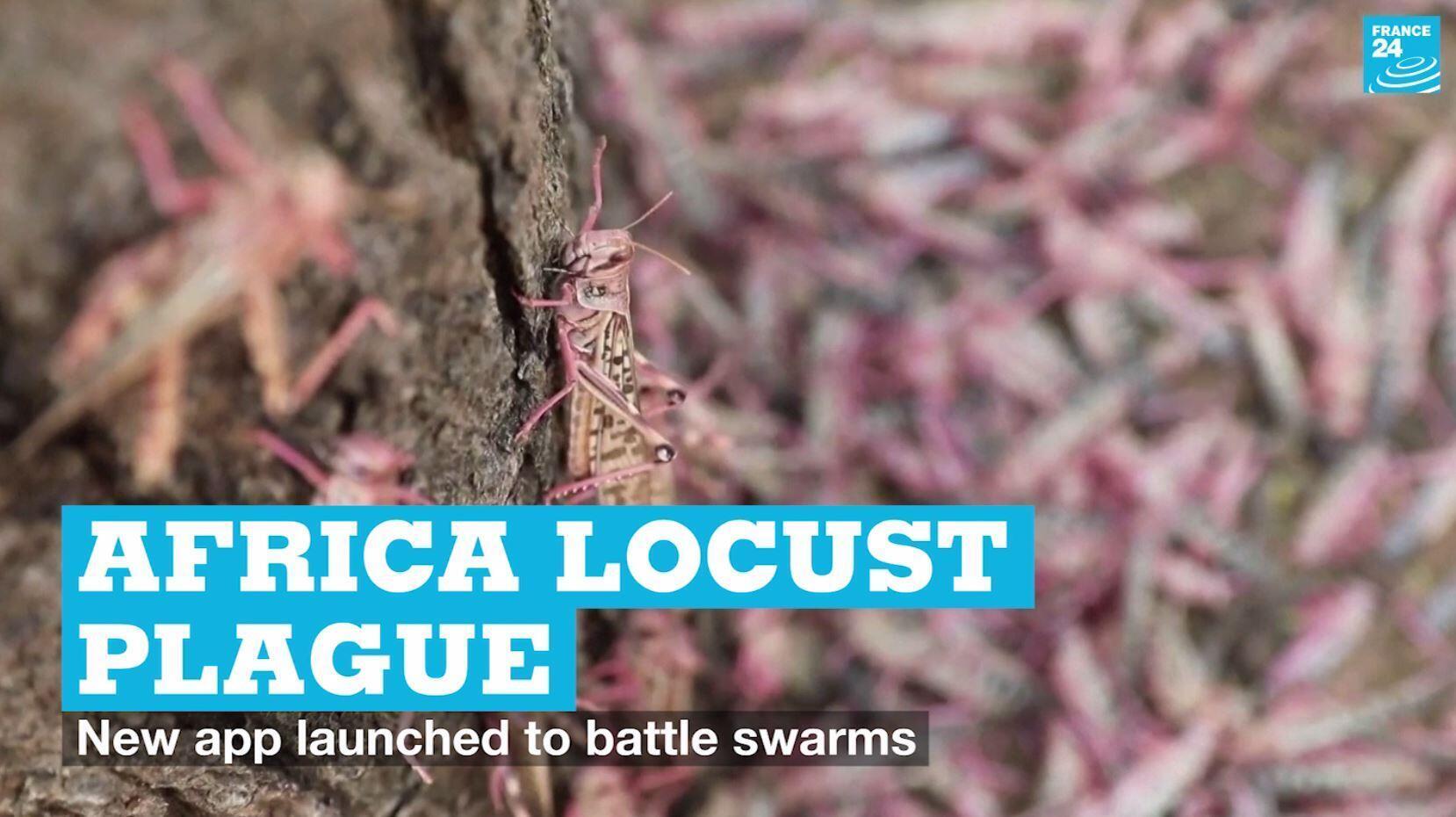 Locusts on a tree in the Turkana region of northern Kenya on July 2, 2O2O.