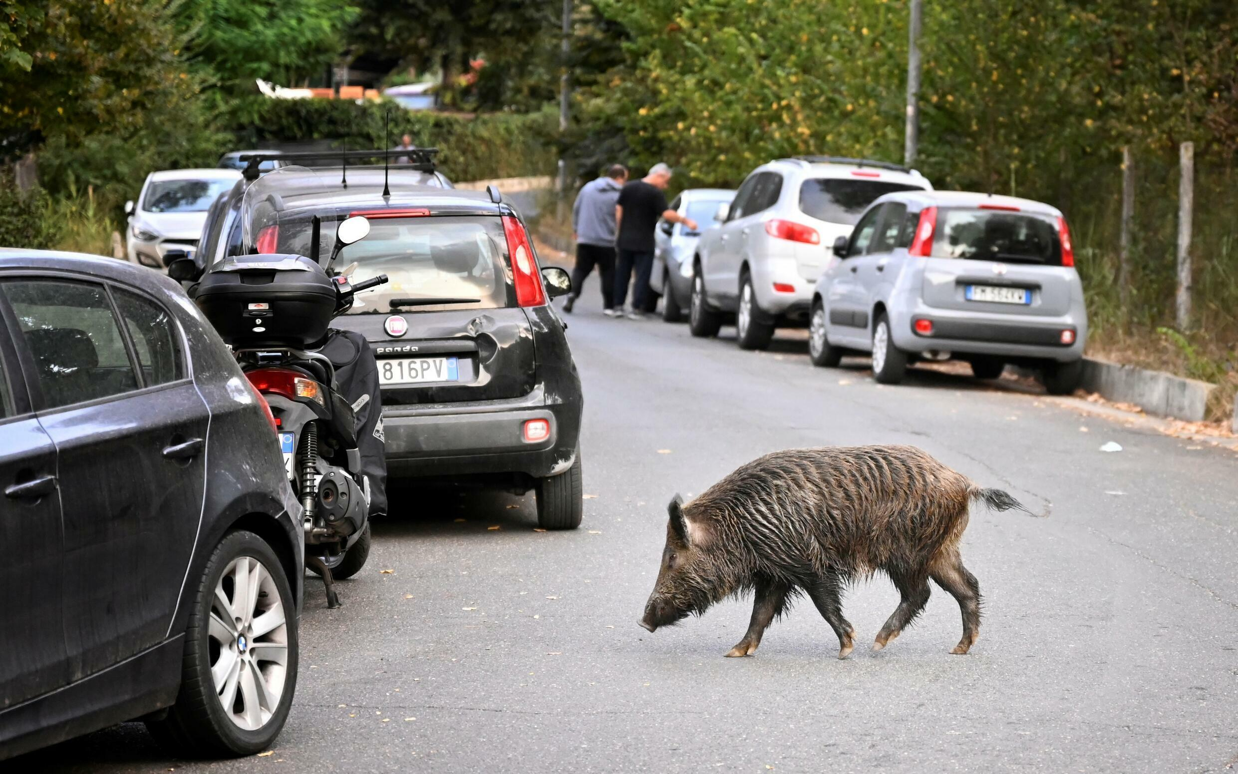 Wild boars overshadow mayoral race as Rome demands clean-up - France 24