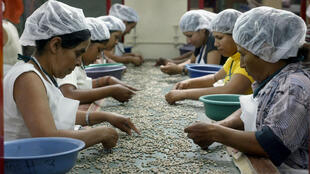 """Trabajadores de la plantación de café """"La Esperanza"""" seleccionan los granos de café de mejor calidad para la exportación cerca de Matagalpa, 130 kilómetros al norte de Managua, Nicaragua."""